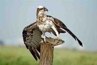 La invernada del águila pescadora en la provincia de Huelva