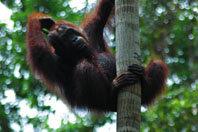 Orangutanes acorralados por los cultivos de palma