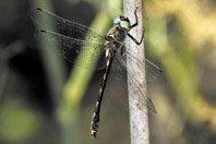 Las libélulas protegidas de Andalucía