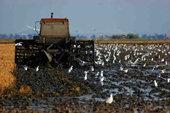 Las polluelas en las  marismas del  Guadalquivir