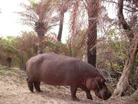 Hipopótamos y arrozales en Guinea-Bissau: un conflicto en vías de solución