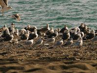 La invernada de la gaviota cabecinegra en la provincia de Málaga
