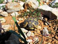 Primeros pasos de la tortuga mediterránea en la Comunidad Valenciana