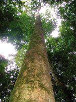 Copaíba: árbol milagroso de la selva amazónica