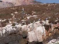 Nueva colonia de gaviota de Audouin en las islas de Alhucemas