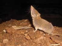 La musaraña de Osorio: de joya de la fauna endémica a especie invasora