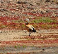 Tarro canelo: el pequeño ganso del desierto se hace canario