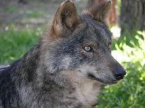 El exterminio del lobo en Extremadura