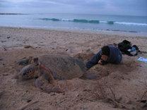 ¿Dónde nacen las tortugas bobas que viven y mueren en las costas españolas?