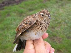 Las aves reflejan la pérdida de hábitats en Corrubedo