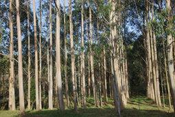 ¿Contribuyen los cultivos de eucaliptos a conservar la diversidad biológica?