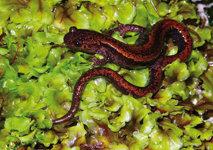 Anfibios y reptiles del Parque Nacional de los Picos de Europa
