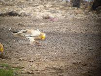 Alimoches vía satélite: del Alto Tajo al Sahel