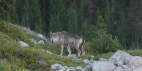 El lobo vuelve a Cataluña: historia del regreso y medidas de conservación
