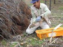 El conejo da paso al lince en pinares naturalizados de Córdoba