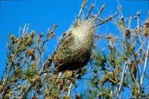 Nido de procesionaria en el ápice de una rama de pino, la posición más expuesta al sol. De esta manera la temperatura interior será alta y permitirá a las orugas sobrevivir a los rigores del invierno.