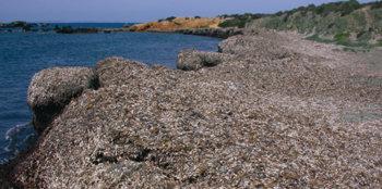 Acumulación natural de restos de posidonia (Posidonia oceanica) en una cala de la isla de Tabarca