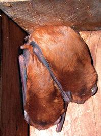 Un macho y una hembra de nóctulo grande hibernan en una caja nido. La instalación de estos nidales facilita el asentamiento de las colonias de quirópteros.