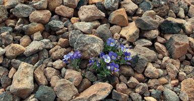 La violeta del Teide es la planta más emblemática del parque nacional. Como puede verse arraiga en suelos pedregosos y poco consolidados (foto: Manuel Arechavaleta).