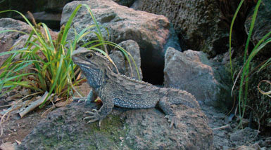 Aunque su aspecto sea muy semejante al de una iguana o un agama, el tuátara no es un verdadero lagarto, sino la única especie viva de un orden de reptiles ya extinguidos: los rincosaurios o esfenodontes.