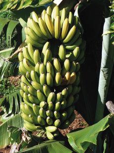 Piña o racimo de plátanos de Musa x paradisiaca, híbrido de las dos especies silvestres, Musa acuminata y Musa balbisiana, de las que proceden todas las plataneras cultivadas (foto: D. Martín-Socas).