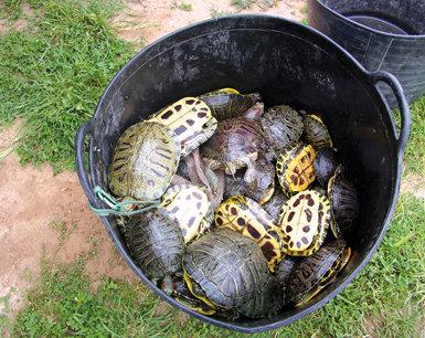Tortugas de Florida depositadas en un cubo tras haber sido capturadas en un humedal valenciano (fotos: José Vicente Bataller).