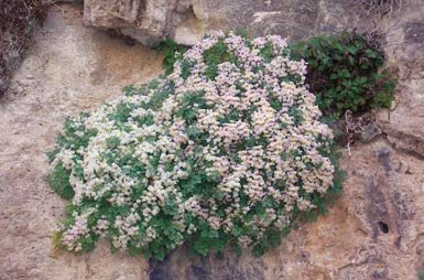 Mata de zapaticos de la Virgen (Sarcocapnos baetica), planta endémica de las sierras béticas que debería contar con tres planes de conservación, pero no tiene ninguno (foto: Antonio Matea).