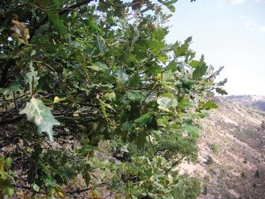 Habitual porte arbustivo de un roble cantábrico (Q. orocantabrica) encontrado en la sierra turolense de Albarracín (foto: José Luis Lozano).